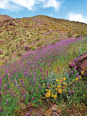 Brewster finally found lupines growing on the urban fringe, where the national monument meets the cities of the Coachella Valley.