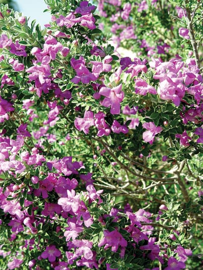 Texas Ranger, native to the desert Southwest, provides many shades of blue and purple blossoms over a long season.