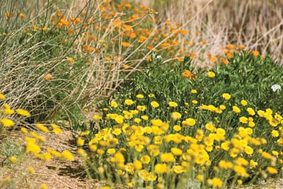 The wildflower preserve features a wide range of low desert natives and grasses that peak in May.