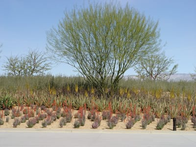 Beneath the entry drive palo verde (Cercidium 'Desert Museum') lie masses of blue elf hybrid aloe, backed by a mass of yellow spire Aloe vera and a solid band of shrubby Texas Ranger that will flower purple with the heat of late spring.