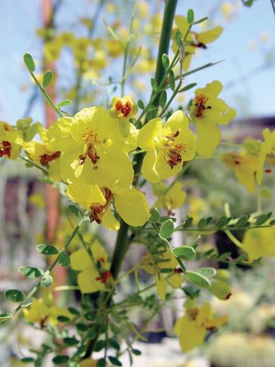 Thornless hybrid palo verde (Parkinsonia 'Desert Museum')