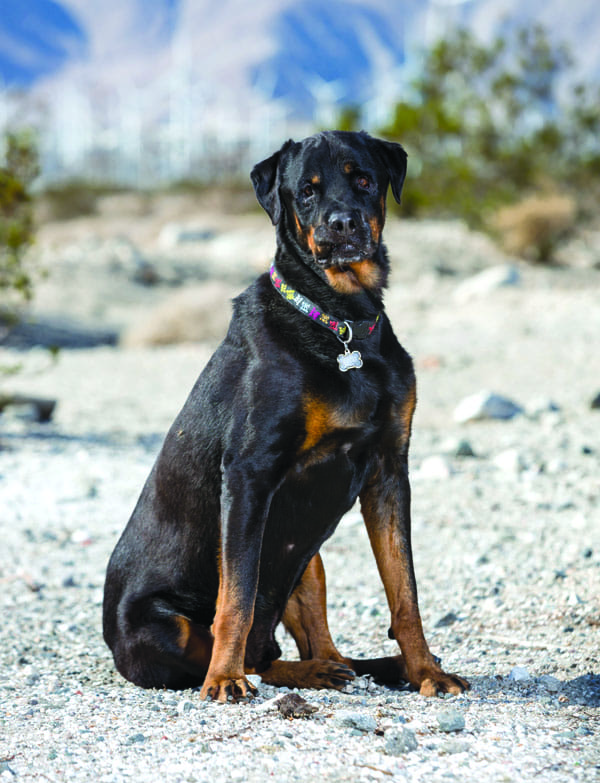 Max came to Dream Dogs as a big love, but he knew nothing about behavior. Positive reinforcement with treat rewards turned him into a well-mannered pet.