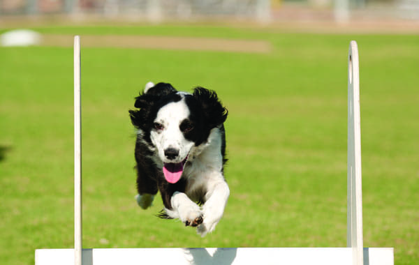 Brenda Mejia's border collie mix, Callie, races to the finish line, sharpening her skills a member of the 2 Fast 4 Paws Flyball Racing Team.