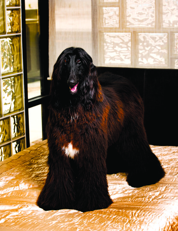 Morgan, an Afghan hound, enjoy the amenities at The Pet Hotel at Barkingham Palace in Palm Desert.