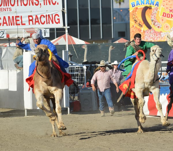 The camel races are crowd favorites at the Riverside County Fair & National Date Festival.