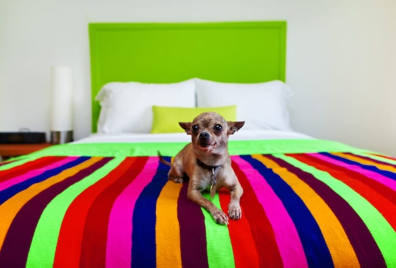 Dog on bed at Saguaro Palm Springs