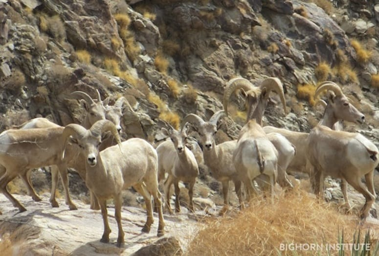 bighorn sheep_watermark