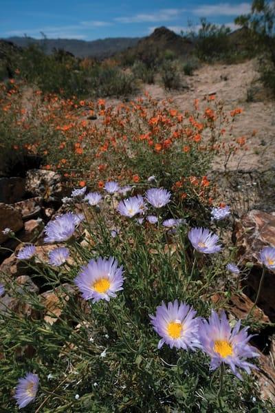 wildflowerspalmsprings
