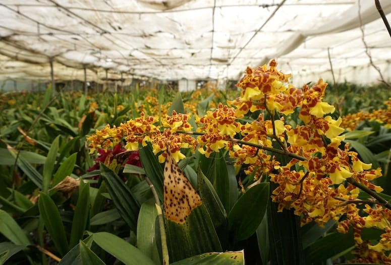 gubler-orchids