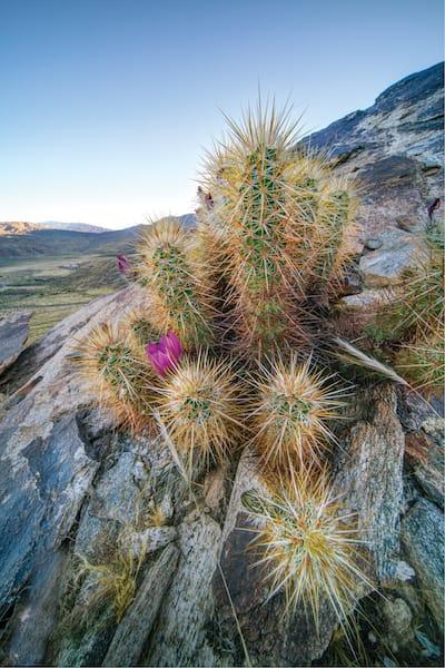 hedgehogcactus