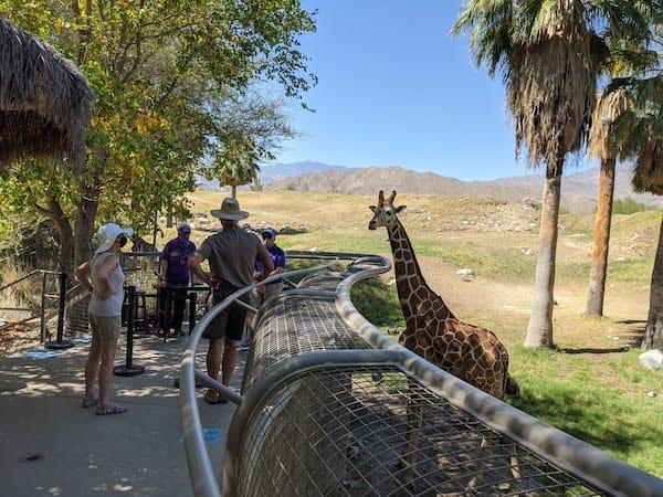 giraffelivingdesert