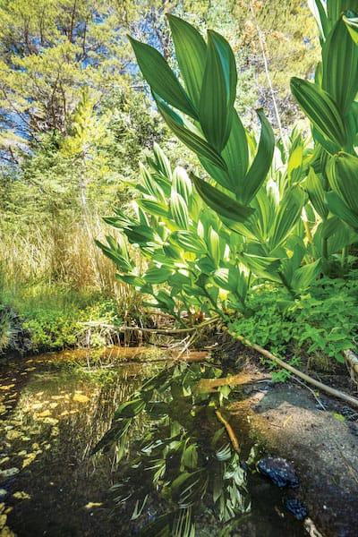 cornlilies