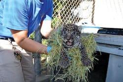 jaguarcub