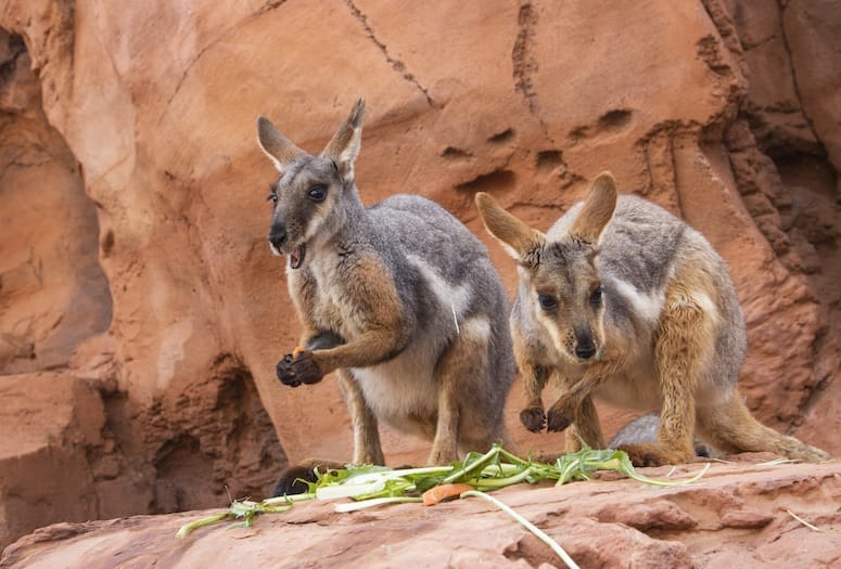 wallaby the living desert