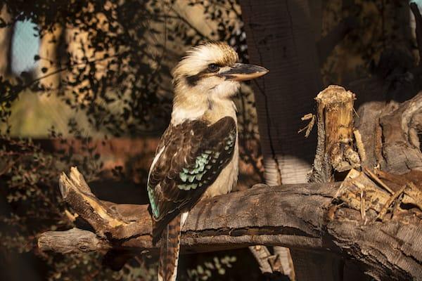 KookaburraTheLivingDesert