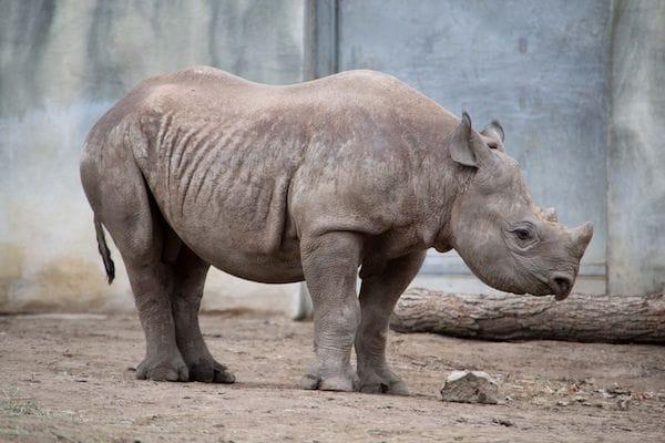 africanblackrhino